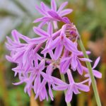 Tulbaghia Purple Eye