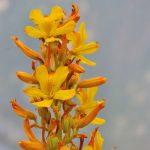 Wachendorfia Thyrsiflora
