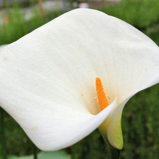 Zantedeschia